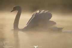 Mute Swan (Thomas Winstone) Tags: bird nature birds canon spring swan wildlife feathers feather aves bbc mute avian muteswan birdwatcher avians canon300mmf28 canonuk birdperfect canon1dx