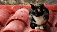 Carey (Jos Luis Borbolla) Tags: life roof red naturaleza cats color nature animal cat feline earth gatos vida felinos tortuga tejado techo carey planeth garras