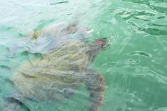 Green Sea Turtle, Tortuga verde [Cheleonia mydas] , NGID385935831 (naturgucker.de) Tags: cheloniamydas naturguckerde ckarlheinzfuldner ngid385935831 isladelaplatabeipuertolopez