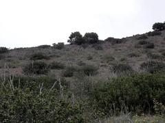 CAWR 2016 (William Cullen) Tags: cactuswren ranchopalosverdes coastalsagescrub palosverdespeninsulalandconservancy williamcullen portuguesebendreserve portuguesebendnaturepreserve