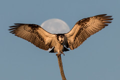 Moondance (gseloff) Tags: moon bird texas wildlife pasadena moonset osprey kayakphotography gseloff horsepenbayou