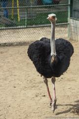 _MG_4990 (sergiomenendez67fotografia) Tags: avestruz