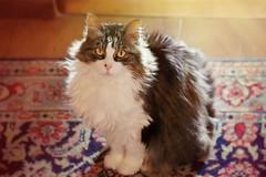 47/52  (clo dallas) Tags: portrait pets cat canon eyes feline sweet indoor felini camilla gatta 52weeksproject gattodomestico