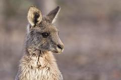 Kangaroo 2016-04-20 (60D_0983) (ajhaysom) Tags: australia melbourne greenvale easterngreykangaroo canoneos60d sigma150600 woodlandshistoricpark