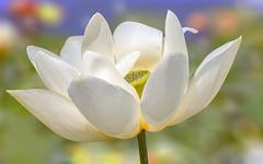 ***Lotus Magic (12bluros) Tags: flower macro floral flora lotus 1001nights canonef100mmf28lmacroisusm