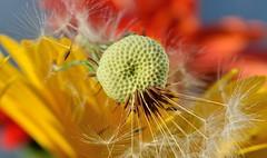 Make A Wish... (KingGuardian) Tags: flowers plant nature landscape nikon ngc lovers dandelion 1855mm nikond7100 nikon1855mmf3556gvrii