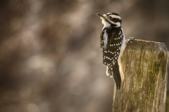 To the Left (flashfix) Tags: ontario canada bird nature animal fence woodpecker picoidespubescens nikon bokeh ottawa posed downy mothernature fencepost 2016 picoides merbleue femaledowny d7000 nikond7000 merbleueconservationarea 55mm300mm 2016inphotos april092016