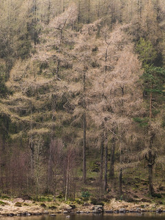 Blea Tarn Larch Trees