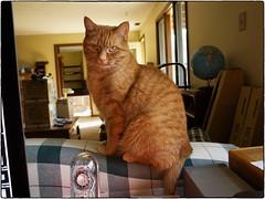 Amelia Pond, April 12, 2016 (Maggie Osterberg) Tags: cat nebraska lincoln fujifilm x20 maggieo ameliapond colorefexpro4