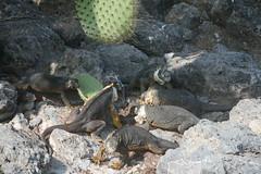 IMG_7627 (chupalo) Tags: cacti landiguana lavarocks islasplaza