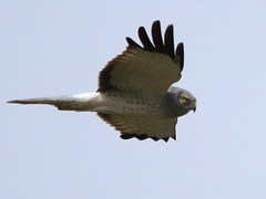 Haunted by the Grey Ghost... (Paridae) Tags: raptor birdsofprey greyghost featheredfriends afewofmyfavouritethings circuscyaneus thingswithwings northerharrier thegreyghost birdsofbritishcolumbia canoneos7d harrierinflight malenorthernharrier maleharrier birdsofboundarybay