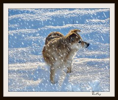 Wintertime (patrick.verstappen) Tags: winter dog pet snow texture girl animal photo google nikon flickr belgium image sweet pat january rusty sigma hdr textured facebook picassa gingelom ipernity d7100 pinterest ipiccy