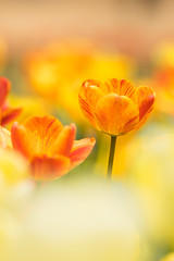 follow you on the heaven (hitohira_) Tags: flowers flower nature bokeh tulip flickraward