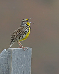 """Singing in the Cemetery"" (Keith Carlson) Tags: westernmeadowlark sturnellaneglecta"