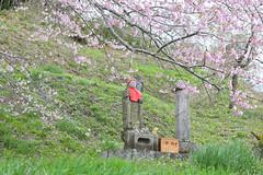 16041908 (yohey23) Tags: nature japan canon spring  cherryblossom  sakura fukushima   eos6d ef24105mm