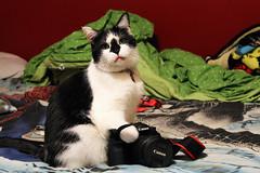 33/365 (JennaAbbottPhotography) Tags: cats cat canon photography 365 blackandwhitecat 365day 365dayproject