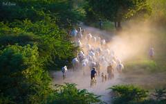 Heavy traffic (hak87) Tags: sunset animals burma myanmar herd bagan