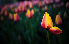 she stands alone (auntneecey) Tags: flowers utah tulips tulip isolated odc thanksgivingpoint