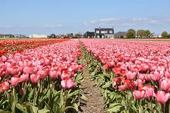 Pink tulips at Noordwijkerhout, May 1, 2016 (cklx) Tags: red holland yellow spring tulips may tulip april brightcolors tulpen noordwijkerhout tulp lisse 2016 bollenstreek hillegom