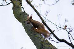 Eichhrnchen mit Nuss (mwo_w_GER) Tags: red squirrel eurasian roux vulgaris cureuil eichktzchen ecureuil sciurus