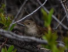 House Wren--Troglodytes aedon (Polioptila caerulea) Tags: california wren troglodytes songbird nevadacounty housewren troglodytesaedon howr floristonave
