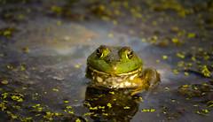 Ribbit (Nutzy402) Tags: green nature wet water animal animals pond nikon nebraska amphibian frog natureconservancy