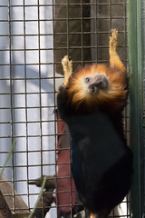20160113-110015_WashingtonDC_D7100_1180.jpg (Foster's Lightroom) Tags: washingtondc smithsonian us washington districtofcolumbia unitedstates northamerica museums zoos primates goldenliontamarin tamarins smithsoniannationalzoologicalpark us20152016