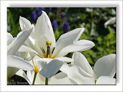 White tulips ( Annieta ) Tags: holland this is photo nederland thenetherlands using illegal polder without permission allrightsreserved krimpenerwaard annieta sonya6000