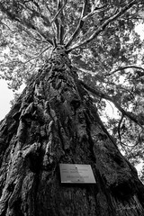 Squoia Gant (Sylvain Alexandre) Tags: california bw giant nb gant sequoia californie squoia