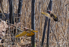 Pic Flamboyant -  Northern Flicker (MichelGurin) Tags: ca  canada tree bird nature exterior arbres qubec extrieur qc oiseaux northernflicker 2016 colaptesauratus chteauguay picflamboyant hritagesaintbernard michelgurin llesaintbernard nikcollection googlenikcollection tousdroitsrservsallrightsreserved nikond750 lightoomcc nikkor200500mmf5