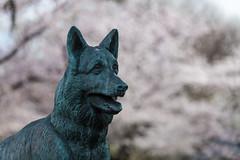 Bronze German Shepherd (Tuck Happiness) Tags: dog statue japan bronze cherry tokyo memorial shrine blossom bokeh shepherd german  sakura  alsatian yasukuni worldwartwo schfer  2016
