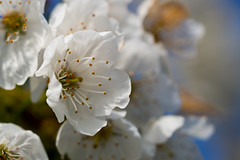 white (jan.scho) Tags: makro blte baum frhling kirsche weis
