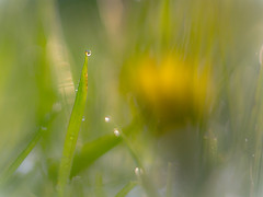 aprilregen im gras (ponyQ) Tags: schnee natur wiese blte farbe abstrakt frhling helios44m vertrumt unschrfe aprilwetter experimentellesobjektiv