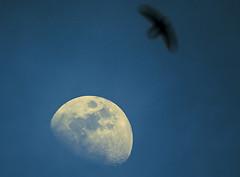 Bird moon (davidlloret) Tags: blue sunset sky espaa moon bird silhouette azul atardecer fly wings spain nikon flight luna murcia cielo alas bluehour silueta lorca pjaro vuelo volar horaazul d5200 cazadoresdeimagenes