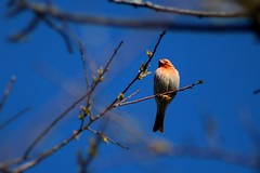 House Finch (Gale U) Tags: house bird connecticut finch