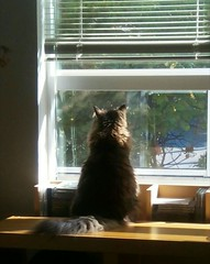 Tilly looking out... (Beeke...) Tags: pets window cat katze gatto tilly
