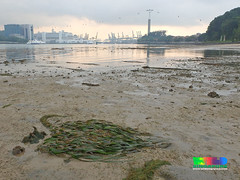 Tape seagrass (Enhalus acoroides) (wildsingapore) Tags: nature landscape island marine singapore underwater wildlife coastal shore intertidal sentosa seashore seagrass marinelife rimau wildsingapore enhalus acoroides