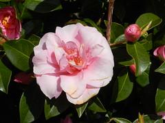 Pink Camellias, Plockton, West Coast of Scotland, April 2016 (allanmaciver) Tags: pink west colour beautiful coast scotland bush display joy grow delight tough plockton hardy admire allanmaciver