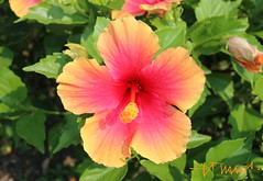 The colors of your smile... live and beautiful! (ssspnnn) Tags: planta colors cores colores hibiscus hibisco malvaceae nunes clavel canoneos70d spereiranunes snunes spnunes