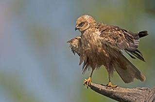 Marsh Harrier: Circus aeruginosus