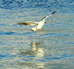 Black Headed Gull winter plumage (jdathebowler Thanks for 1.20 Million + views.) Tags: wow seabird yeadontarn blackheadedgull autofocus winterplumage treeofhonor chroicocephalusridibundus secretenchantedgardens