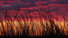 Strandhafer im Sonnenuntergang (brueggerhl) Tags: sunset plant nature sonnenuntergang natur pflanze beachgrass ammophila strandhafer