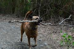 Wild Stick (Bob Hawley) Tags: pets playing dogs forest outdoors sticks asia taiwan pingtung nikon1755f28 hengchunpeninsula nikond7100 taiwantugou