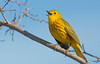 Yellow Warbler (Golden) - Setophaga petechia (Aphelocoma_) Tags: bird nature animal march photo spring image wildlife cuba aves photograph warbler matanzas yellowwarbler 2015 passeriformes lassalinas woodwarbler canonextenderef14xii parulidae setophaga zapatapeninsula cienagadezapata canoneos5dmarkiii setophagapetechia yellowwarblergolden canonef300mmf28lisiiusmlens