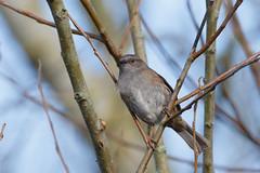 Dunnock (Steve Balcombe) Tags: uk bird somerset dunnock modularis levels prunella rspb greylake hedgesparrow