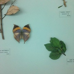 Displayed camoflage (Inkysloth) Tags: museum butterfly insect lepidoptera disguise camoflage horniman leafbutterfly