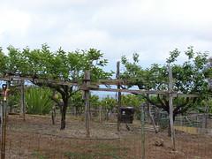 starr-090519-7967-Diospyros_kaki-fruit_trees-Kula-Maui (Starr Environmental) Tags: diospyroskaki