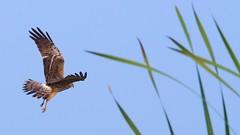 Gajaldoba..... for a wild weekend (pallab seth) Tags: india colour bird nature landscape asia southeastasia falcon migratory habitat tropics kestrel wetland falco ecotourism westbengal riverteesta nikond7000 tamronspaf70300mmf456divcusdlens gajoldobabarrage gajaldoba