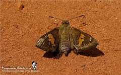 Borboleta - Cephise cephise (Hesperiidae Pyrginae/Eudaminae Eudamini) (Marquinhos Aventureiro) Tags: brazil brasil butterfly wildlife natureza vida borboleta floresta selvagem hesperiidae pyrginae cephise eudaminae eudamini marquinhosaventureiro