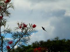 Braslia (IG: @maira.carvalho) Tags: flowers naturaleza flores nature beauty braslia natureza capital beijaflor passaro bsb